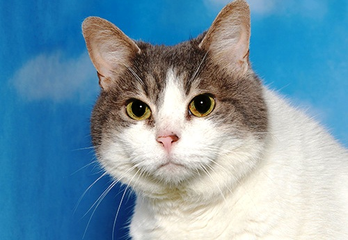 Carla Thornton/FAASTabitha is Friends of the Alameda Animal Shelter's pet of the week.