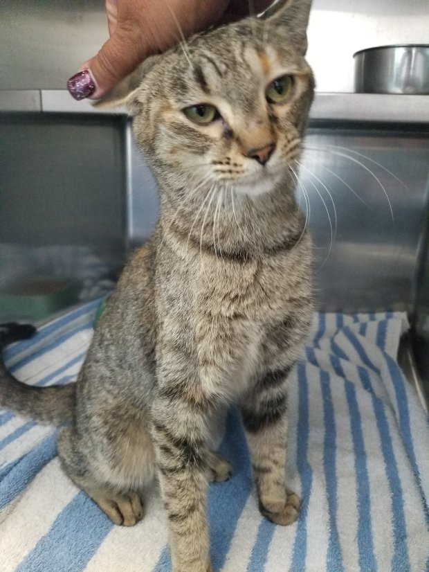 Glamaron is a 1-year-old female gray tabby with some flecks of gold in hercoat. She is very friendly and loves being petted. Her adoption number is A125701. The shelter's featured pets, and many other animals, are available from Antioch Animal Services, 300 L St. The center is open from 10 a.m. to 5 p.m. Tuesday, Wednesday, Thursday; 10 a.m. to 2 p.m. Friday; and 10 a.m. to 5 p.m. Saturday. All of the pets from the center can be viewed at www.shelterme.com. Call 925-779-6989 . COURTESY CAT COTTLE