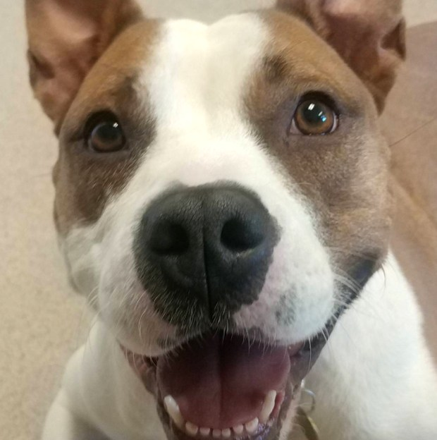 Chata, a female American pit bull mix about 5 years old, is the East Bay SPCA's pet of the week.