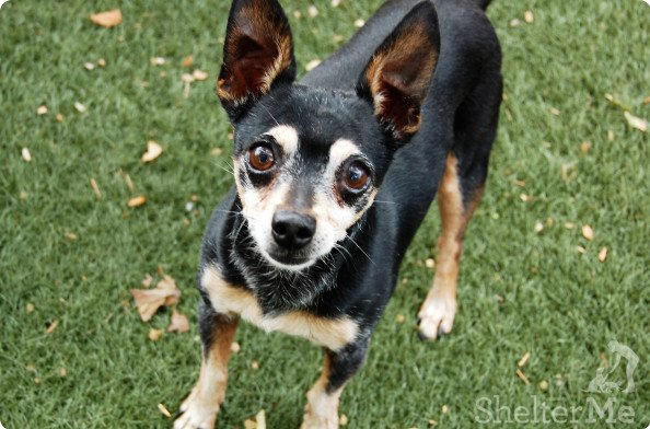 Simba is an 8-year-old male min pin mix who is a very sweet boy though alittle on the shy side, but he warms up quickly. His adoption number is A126015. The shelter's featured pets, and many other animals, are available from Antioch Animal Services, 300 L St. The center is open from 10 a.m. to 5 p.m. Tuesday, Wednesday, Thursday; 10 a.m. to 2 p.m. Friday; and 10 a.m. to 5 p.m. Saturday. All of the pets from the center can be viewed at www.shelterme.com. Call925-779-6989 . COURTESY CAT COTTLE