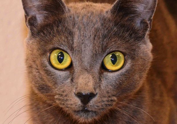 K. Jacoby/Valley Humane SocietyVirginia is the Valley Humane Society's pet of the week.