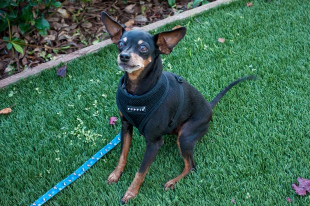Max is a senior gentleman, a tiny, 12-year-old miniature pinscher who is ready to hop into your life, especially if you have treats! He's looking to settle down in a quiet, experienced small-dog home filled with lots of love and affection. Max gets along with other dogs but would prefer to hang out with his special human. Ask for Max, ID# A828944. Adoptable pets are available at Peninsula Humane Society & SPCA's Tom and Annette Lantos Center for Compassion, 1450 Rollins Road, Burlingame. For information, call 650-340-7022 or visit www.phs-spca.org. (Thelma Andree / Peninsula Humane Society)
