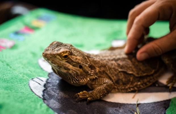 Norbert the bearded dragon from Squeals on Wheels gets some love. MUSTCREDIT: Photo for The Washington Post by Andre Chung