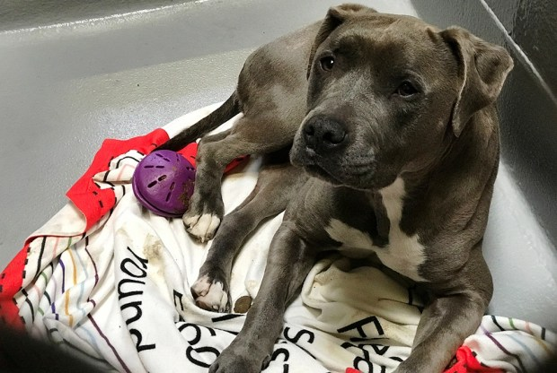 Carla Thornton/FAASLuna is Friends of the Alameda Animal Shelter's pet of the week.