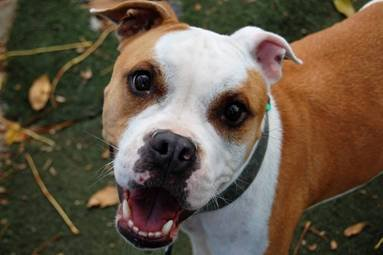 Applesauce is a quiet but sweet girl who loves attention and long walks. Heradoption number is A119208. The shelter's featured pets, and many other animals, are available from Antioch Animal Services, 300 L St. The center is open from 10 a.m. to 5 p.m. Tuesday, Wednesday, Thursday; 10 a.m. to 2 p.m. Friday; and 10 a.m. to 5 p.m. Saturday. All of the pets from the center can be viewed at www.shelterme.com. Call 925-779-6989 . Courtesy Sabrina McManus