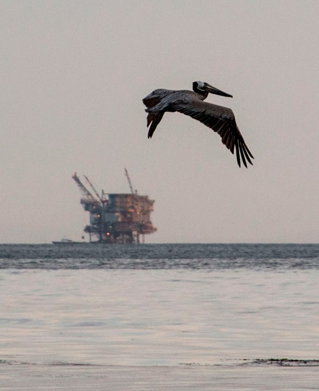 This file photo taken on May 19, 2015 shows an offshore oil drilling rig seen in the background as a brown pelican flies over the oil slick at Refugio State Beach in Goleta, California. The Trump administration on January 4, 2018 announced a plan to allow oil drilling in virtually all US coastal waters, drawing immediate criticism from environmentalists and some Republicans. ROBYN BECK/AFP/Getty Images