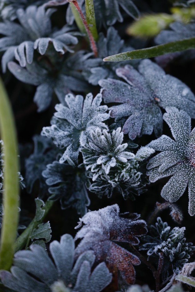Frost blankets the vegetation in the garden at Lakeside Park in Oakland, Calif., on Tuesday, February 20, 2018. (Laura A. OdaBay Area News Group)