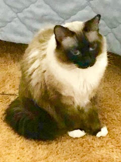 Kimi, a rag doll Siamese mix, needs a new home. (Courtesy of Nancy Boren)
