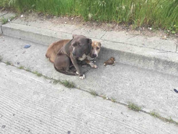 Mystique, a 2-year-old pit bull mix, stayed by Porsche's side after she wasinjured, protecting her from harm. When Contra Costa Animal Service responded to the report of a dog hit by a car, they found the two together. (Courtesy of Contra Costa Animal Services)