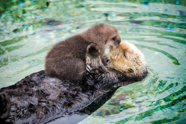 It's mommy-and-me time for the otters at the Monterey Bay Aquarium. (Monterey Bay Aquarium)