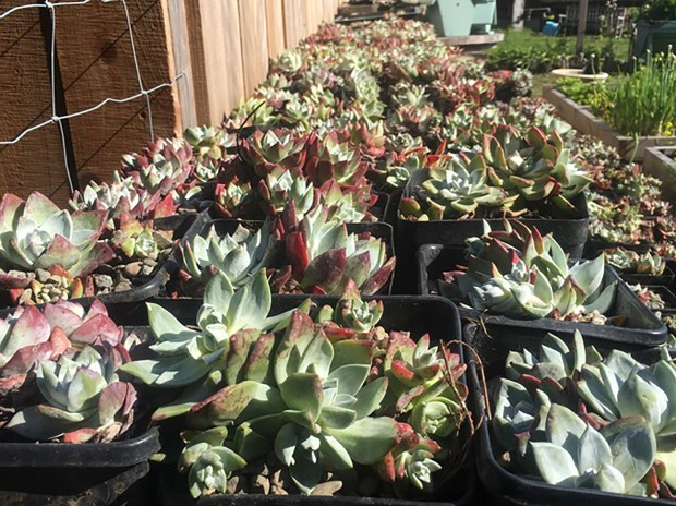 Some of the Dudleya succulents which have been recovered from poachers who dug the plants up along the Humboldt County coastline, so they could ship them to locations in Asia, where they are sold for $40 to $50 per plant. The plants were being care-taken by volunteers until they could be replanted along the coast. (Courtesy Nancy Ruth Morin)