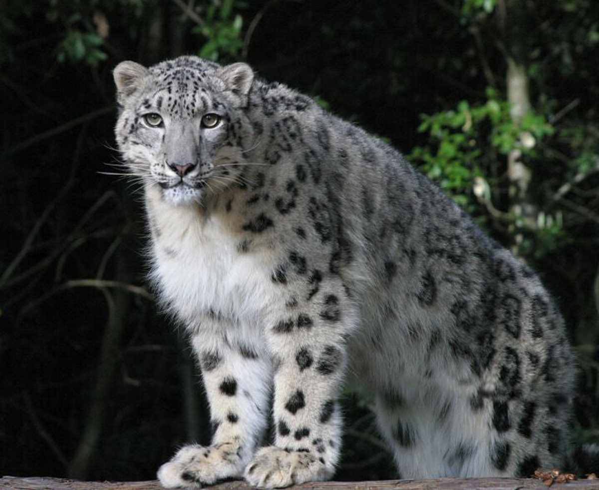 how many snow leopards