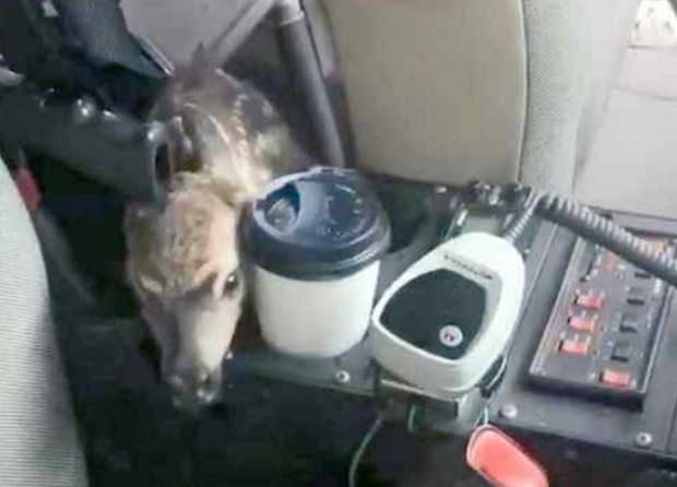 A fawn peeks from the back seat of a patrol car after jumping inside Friday in Tamalpais Valley. (Provided by Marin County Sheriff's Office)