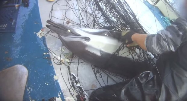 A dolphin struggles on a California fishing boat after being caught it ina drift gill net intended to catch swordfish. The incident was captured on an undercover video sting by an animal welfare group that is supporting bills in Congress and Sacramento to ban drift gill nets. (Photo: Mercy for Animals)