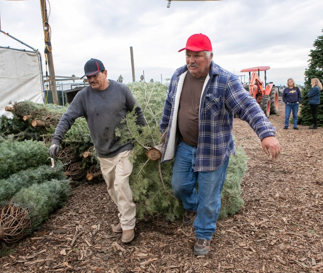From Right Owner Joe Territo And Worker Apolinar Juares Haul A Christmas Tree That Was Chosen By A Customer At Territos Christmas Trees In San Jose