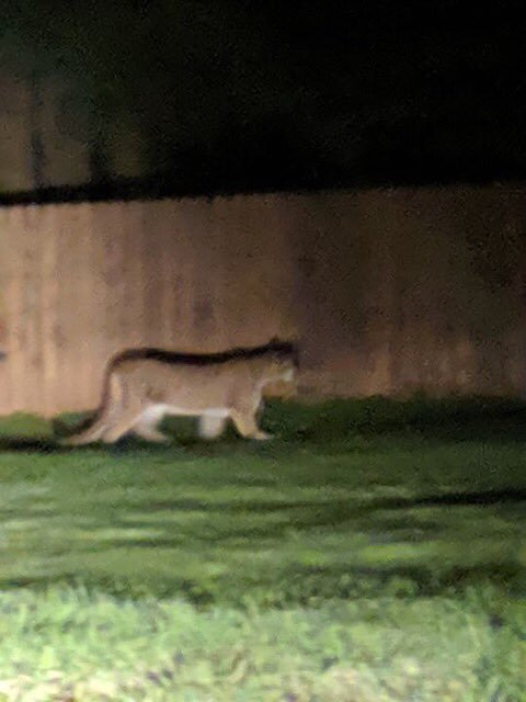 Second mountain lion attack in a week; another child injured