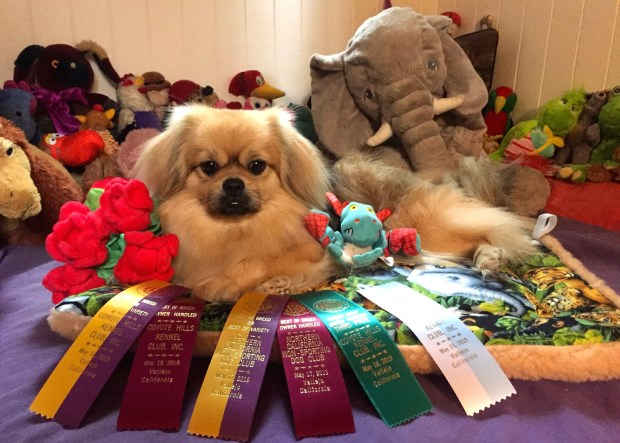 Menlo Park dog headed to Westminster Kennel Club Show