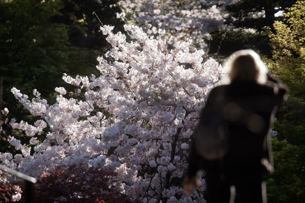Photos: Hakone opens gardens for daytime (and nighttime) cherry blossom viewing 8
