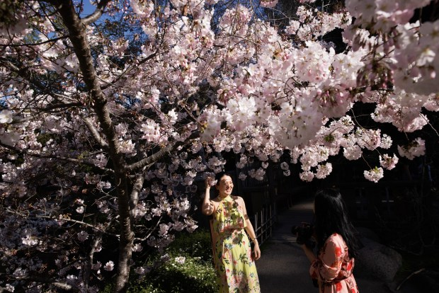 Photos: Hakone opens gardens for daytime (and nighttime) cherry blossom viewing 3