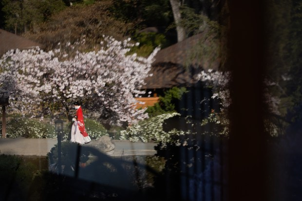Photos: Hakone opens gardens for daytime (and nighttime) cherry blossom viewing 7