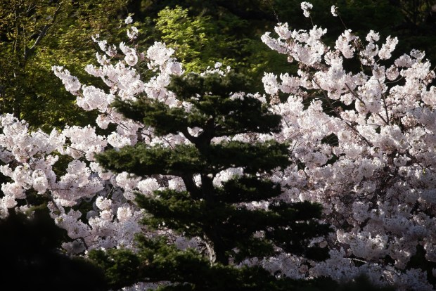 Photos: Hakone opens gardens for daytime (and nighttime) cherry blossom viewing 5