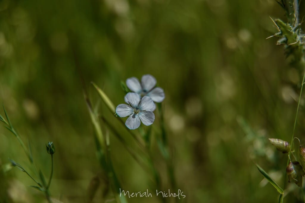 two little blue flowers with grass all around