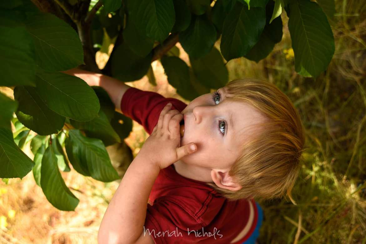 small boy stuffing cherries from a tree into his mouth...