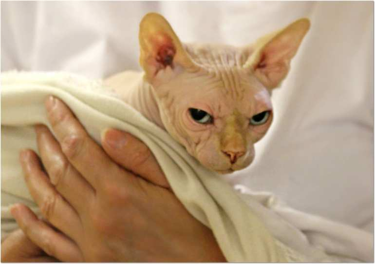 cat is being held. cat is glaring at the camera and looks hairless