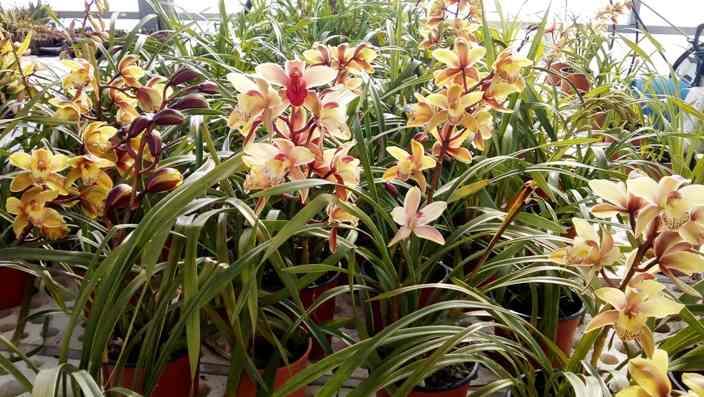 Orchidee Serre Meridiana