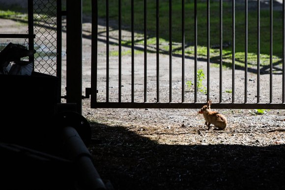Urban-rabbit
