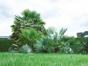 Trachycarpus Fortunei