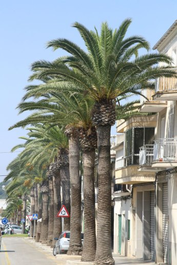 Mallorca_kanarische_Dattelpalme_phoenix_canariensis