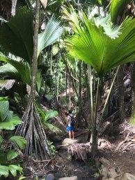 Seychellen Palme Coco De Mer