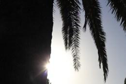 Dattelpalme_Sonnenuntergang