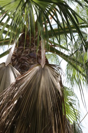 herunterhängender Palmwedel der Washingtonia Robusta