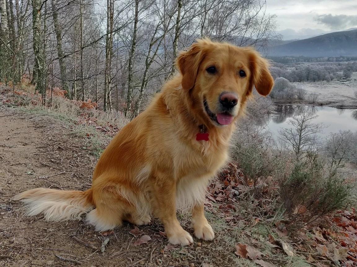 golden retriever sitting