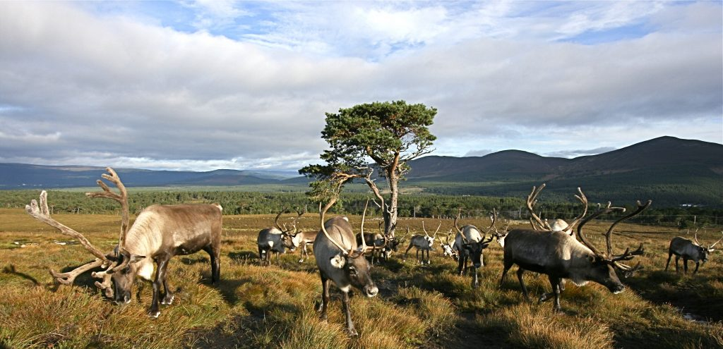 Reindeer in their Cairngorms enclosure. Photo credit ©Alex Smith