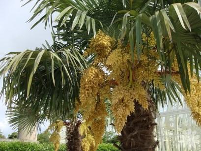 Trachycarpus-fortunei-inflorescence