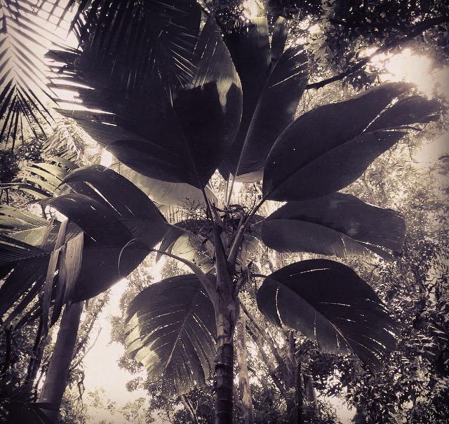 Verschaffeltia splendida in the Merwin Palm Forest