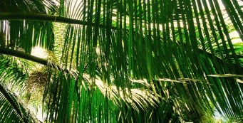 Palm Fact of the Week: Beccariophoenix fenestralis