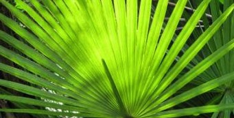Palm Fact of the Week: The Everglades Palm, or Acoelorrhaphe wrightii