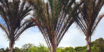 Palm Fact of the Week: The Kosi Palm, or Raphia australis