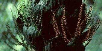 Palm of the Week: Chamaedorea metallica, or Metallic Palm
