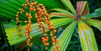 "Palm of the Week: Licuala paludosa, or ""Golden Licuala"""