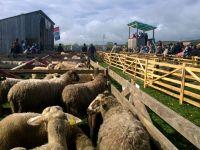Licitație de ovine crescute ecologic