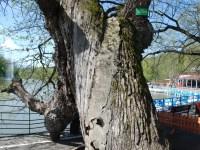 Stejarul de la Zoo, protejat de Garda Naţională de Mediu