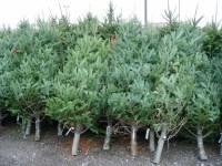 Romsilva scoate la vânzare în jur de 60.000 de pomi de Crăciun