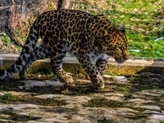 Un leopard și doi lupi albi, noile vedete de la Zoo Sibiu | FOTO
