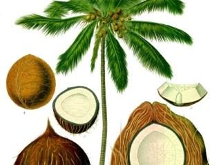 LEACURI DIN NATURĂ | Nuca de cocos (Cocos nucifera)