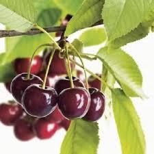 LEACURI DIN NATURĂ | Cireșele (Prunus avium)